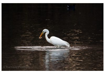 G White Egret Ravensthorpe 1 12 18 (2 of 3)