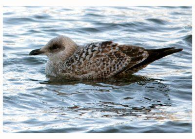 Ist Winter Herring Gull 17 1 19 (1 of 1)