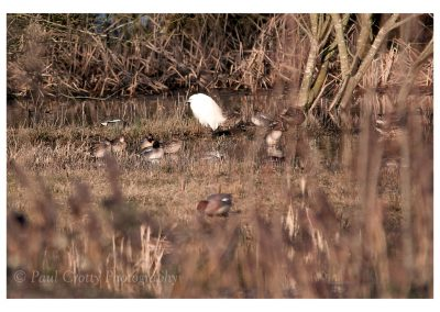 Little Egret (1 of 1)