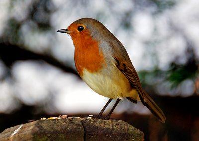 Robin 18 10 16 (2)