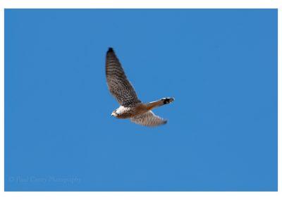 Kestrel in flight Wells (1 of 1)