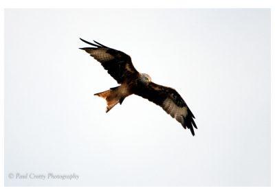 Red Kite 29 8 18-2