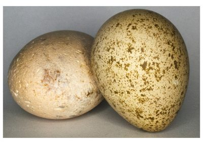 Red legged Partridge Egg and pebble (1 of 1)