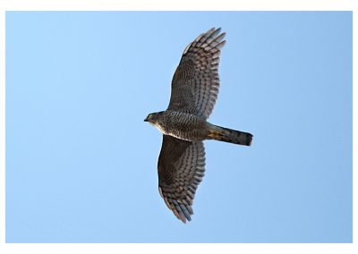 Sparrowhawk 20 4 18 (1 of 1)