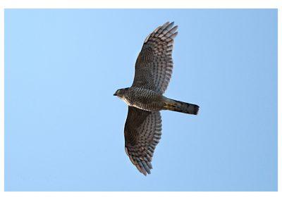 Sparrowhawk 20 4 18 (1 of 1)