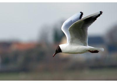 Black Headed Gull 21 3 19 (1 of 1)