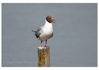 Black Headed Gulls Dav CP (2 of 3)
