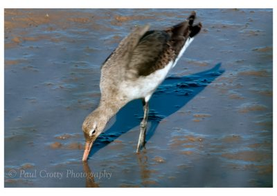 Black Tailed Godwit Titchwell (1 of 3)
