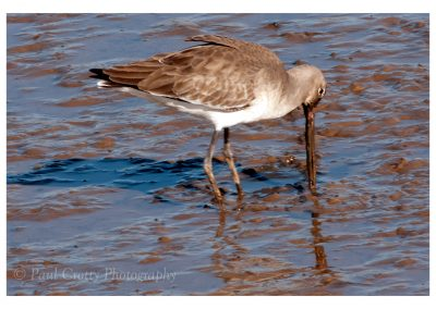 Black Tailed Godwit Titchwell (2 of 3)