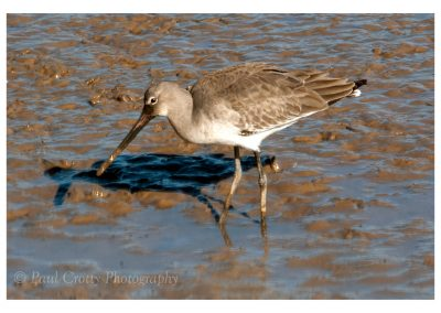 Black Tailed Godwit Titchwell (3 of 3)