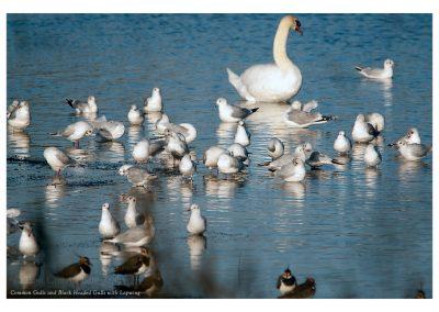 Common Gull 11 11 18 (1 of 1)