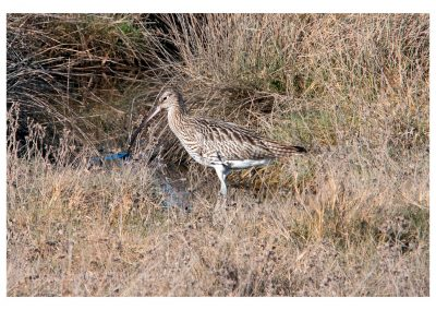 Curlew Titchwell (2 of 4)