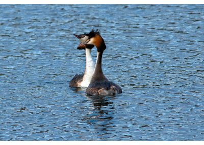 Great Creset Grebes 18 3 19 (1 of 2)