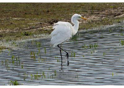 Great White Egret 21 3 19 (1 of 1)