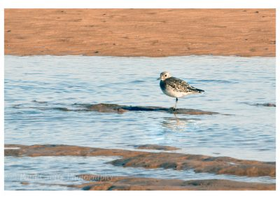 Grey Plover Titchwell (1 of 1)