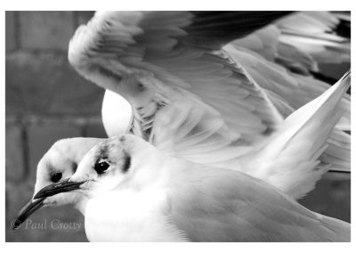 Gull Head and wing mono (1 of 1)