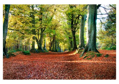 Harlestone firs November (21)