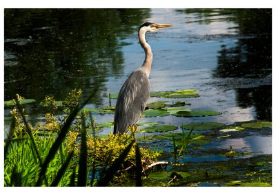 Heron 1st June 2017