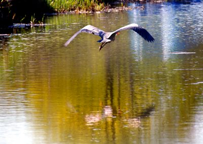 Heron in flight (5)