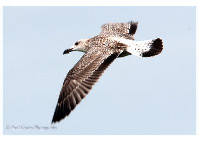 Herring Gull at Ravensthorpe