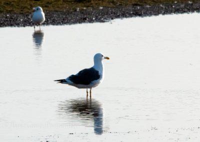 Lesser Black Backed Gull 22 2 19 (1 of 1)