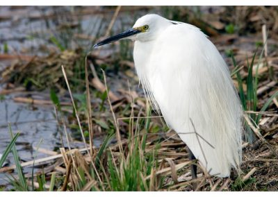 Little Egret 21 3 19 (1 of 2)