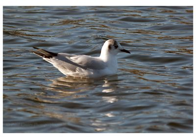 Little Gull (1 of 1)