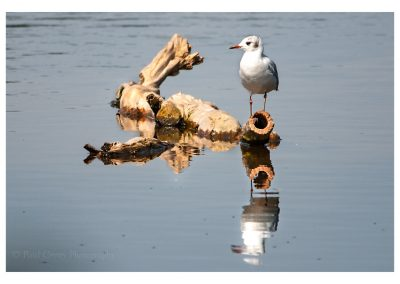 Little Gull Storton Pits