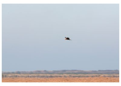 Marsh Harrier Titchwell (1 of 4)