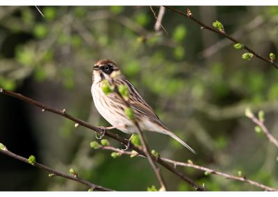 Reed Bunting 21 3 19 (1 of 2)