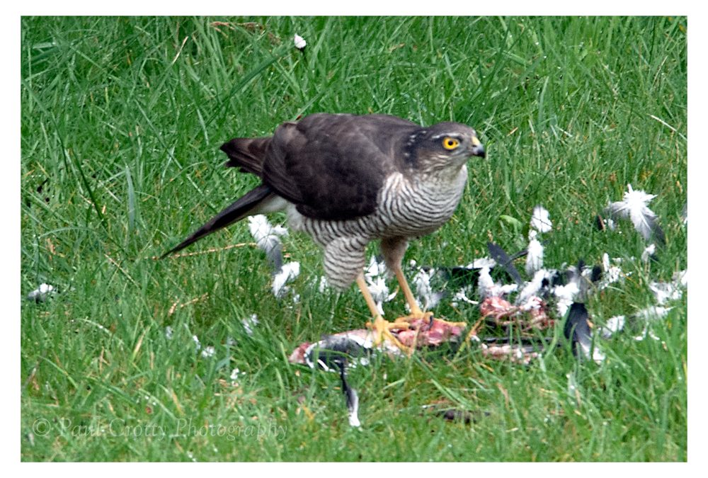 Sparrowhawk Visit
