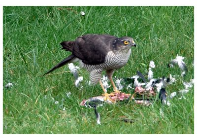 Sparrowhawk 6 3 19 (1 of 12)