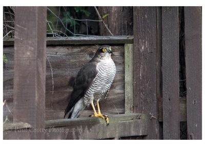 Sparrowhawk 6 3 19 (11 of 12)