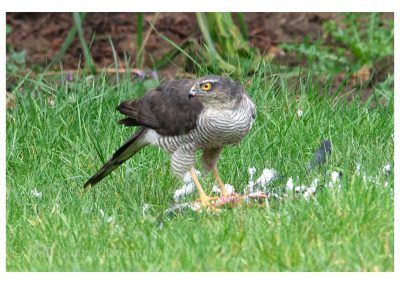 Sparrowhawk 6 3 19 (7 of 12)