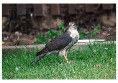 Sparrowhawk 6 3 19 eve (3 of 7)