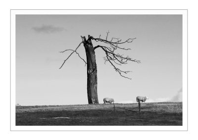 Tree and Sheep at Stowe (1 of 1)