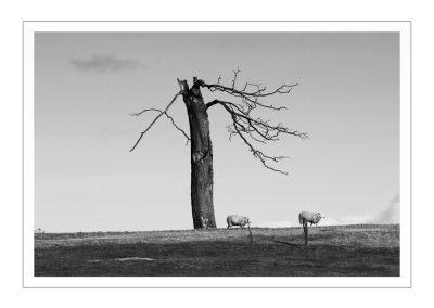Tree and Sheep at Stowe (1 of 1)