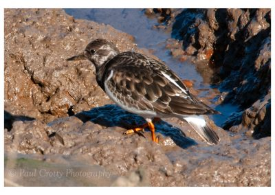 Turnstone Titchwell (1 of 1)