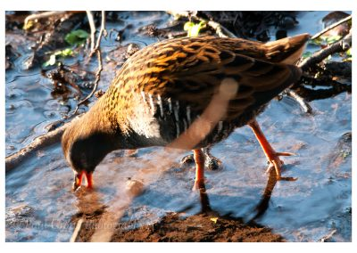 Water Rail Titchwell (1 of 2)