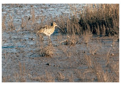 Whimbrel Titchwell (1 of 2)