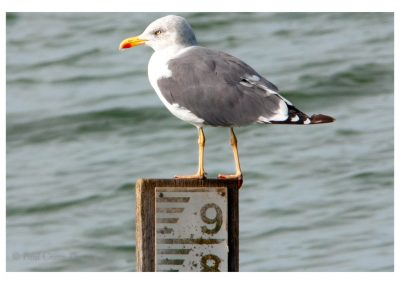 Yellow Legged Gull Ravensthorpe 24 9 18