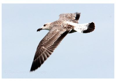 Young Great Black Backed Gull (1 of 2)