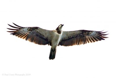 Osprey at RR 8-5-19 (1 of 6)
