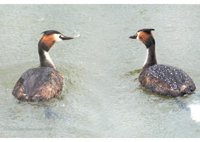 Great Crested Grebe RR 16 6 19 (2 of 2)
