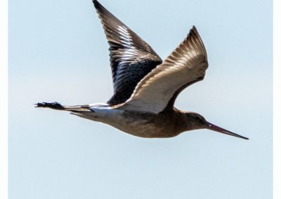Black Tailed Godwit Frampton Marsh 3 9 19 (1 of 1)