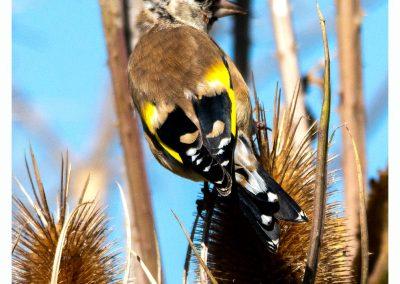 Goldfinches Frampton Marsh 3 9 19 (2 of 3)