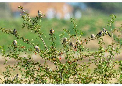 Goldfinches Frampton Marsh 3 9 19 (3 of 3)
