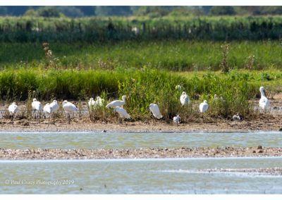 Spoonbills with LE Frampton Marsh 3 9 19 (1 of 1)