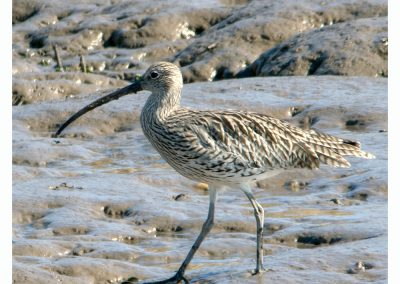 Curlew RSPB Titchwell (2 of 7)