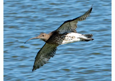 Curlew RSPB Titchwell (4 of 7)